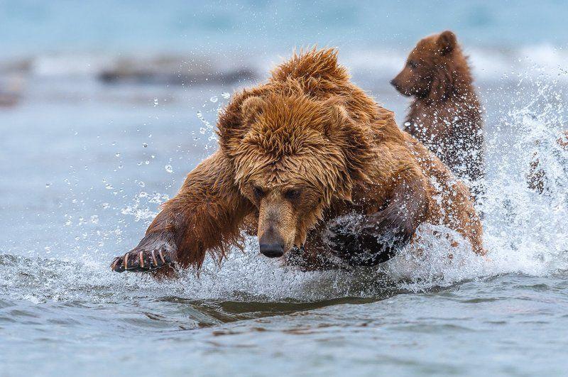 камчатка, бурый медведь,курильское озеро, сергей иванов Мамины урокиphoto preview