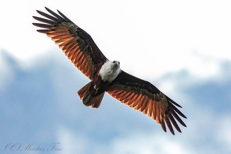 bird birders animal wild_life Brahmini red Kite Eaglephoto preview