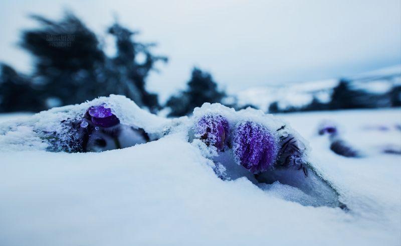 снег,цветы,цветы в снегу,сон трава в снегу,оледенение,лед,холод, Последний снег.photo preview