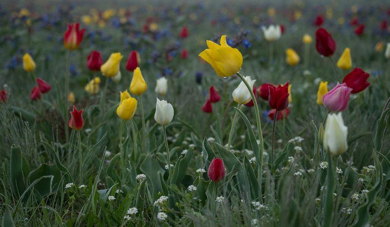 крым crimea степь тюльпаны опук туман роса Туманный степной Крымphoto preview