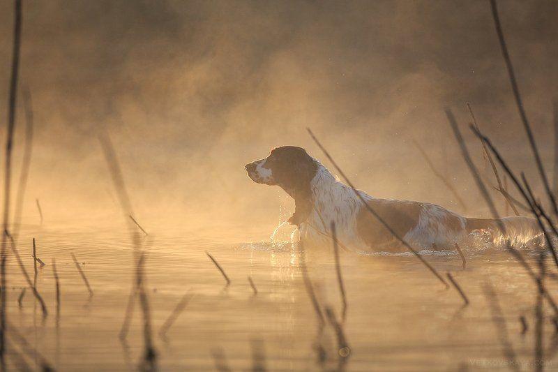 спаниель, рассвет, спрингер, туман Туманное утроphoto preview