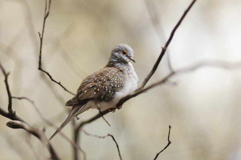 diamond, dove, bird, animal Бриллиантовая горлица (Geopelia cuneata)photo preview