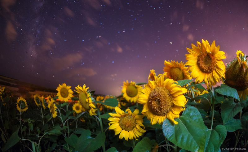 ночь, подсолнухи, звёзды, Яркие \