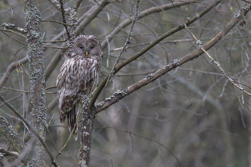 ural owl,bird. Ural Owlphoto preview