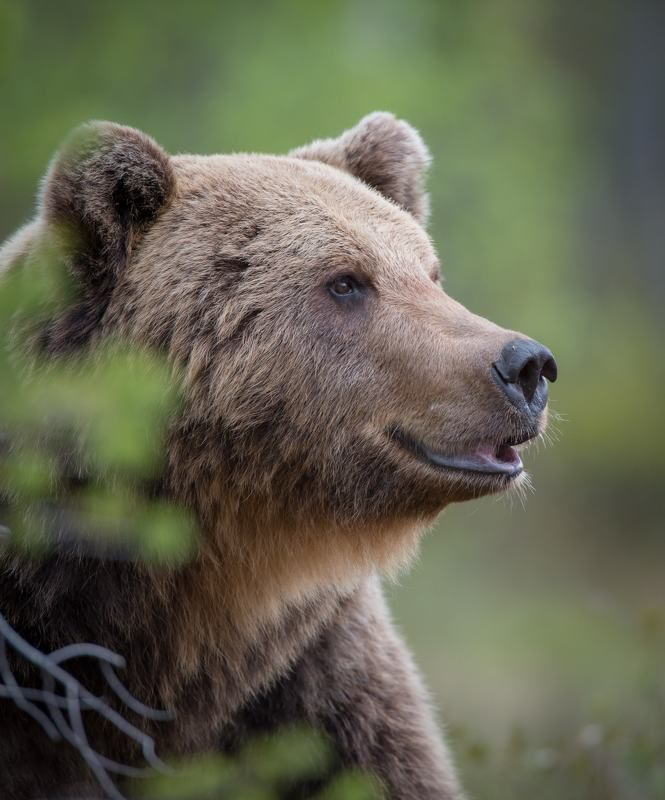 Bear, finland, portrait Happiness is a choice фото превью