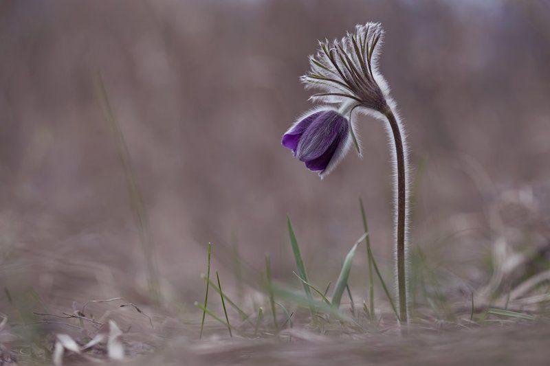 сон-трава,  прострел, первоцветы, весна ***photo preview