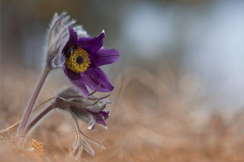 сон-трава,  прострел, первоцветы, весна **photo preview