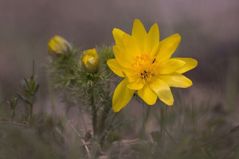 природа, пейзаж, весна, лес, поле, цветок, цветы, адонис, май, день, россия, татарстан, пробуждение, макро, flower, flowers, растения Первоцветphoto preview