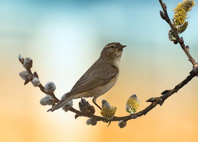 птица, соловей, ветка Вот и \