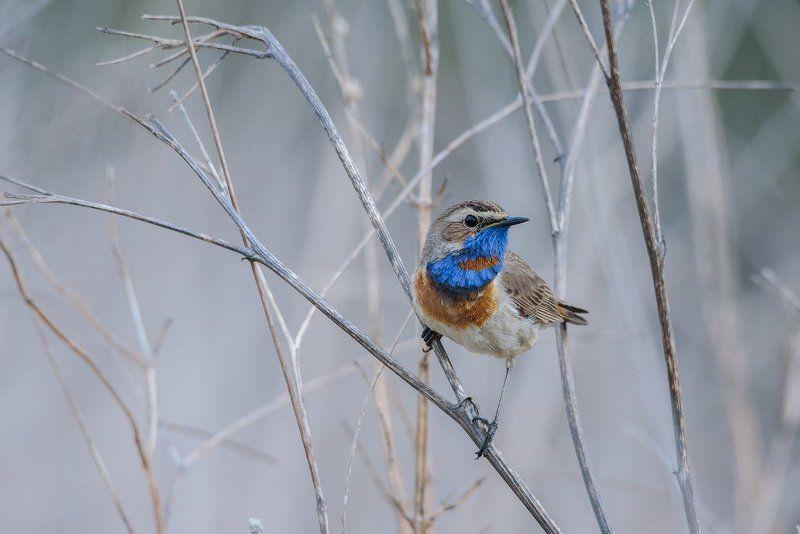 варакушка, птицы, живаяприрода, дикаяприроды, фотоприроды Варакушкаphoto preview