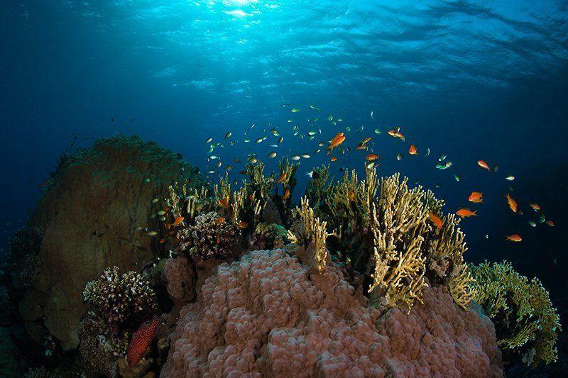 красное море, подводная съемка, марса шагра, риф, золотая рыбка, кораллы аквариум с золотыми рыбкамиphoto preview