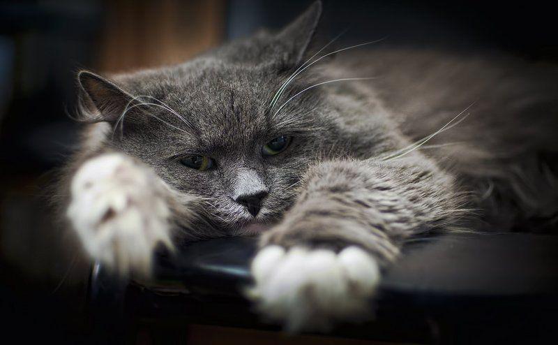 кошка, маркиза. Маркиза.photo preview