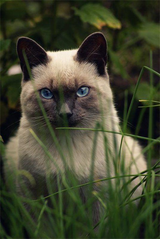 кот, трава, сиамский Охотникphoto preview