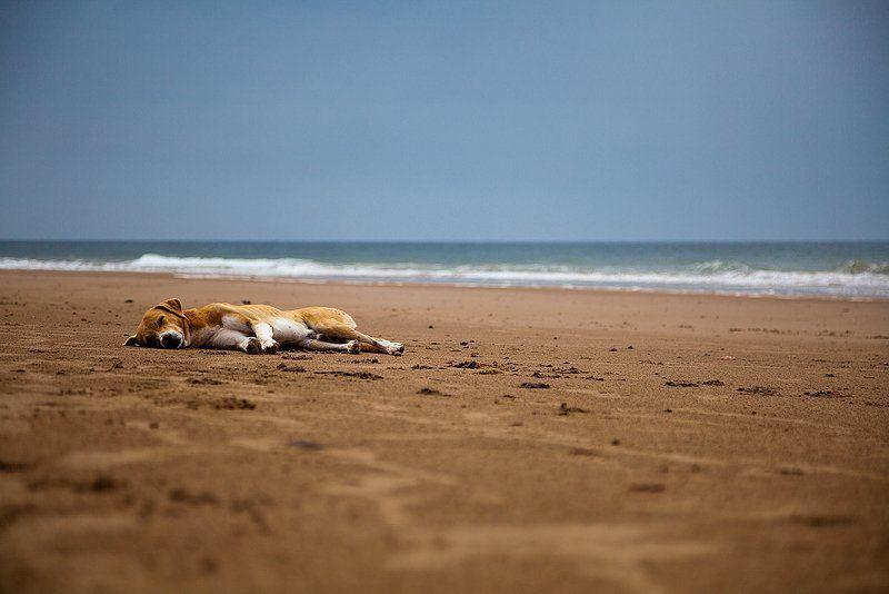 марокко, легзира, пёс, собака, океан, путешествия ***photo preview