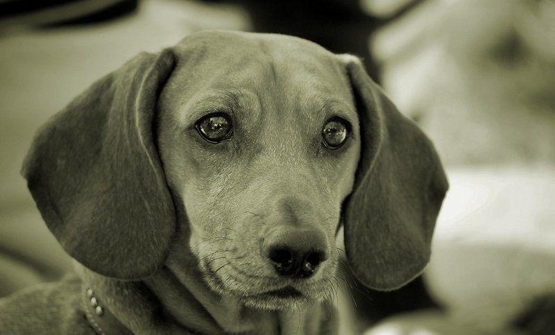 собака, друг, чб, взгляд photo preview
