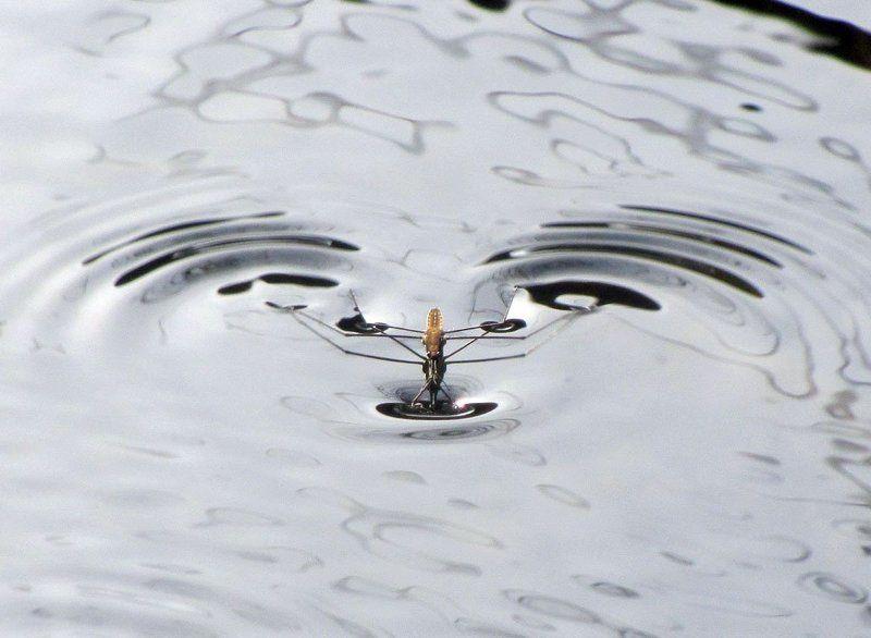 водомерка, вода, движение, волна Только впередphoto preview
