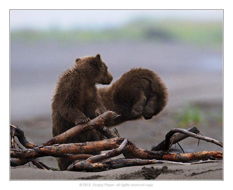 медвежата, аляска, отношения, медведи, дикая природа Ты куда????????photo preview