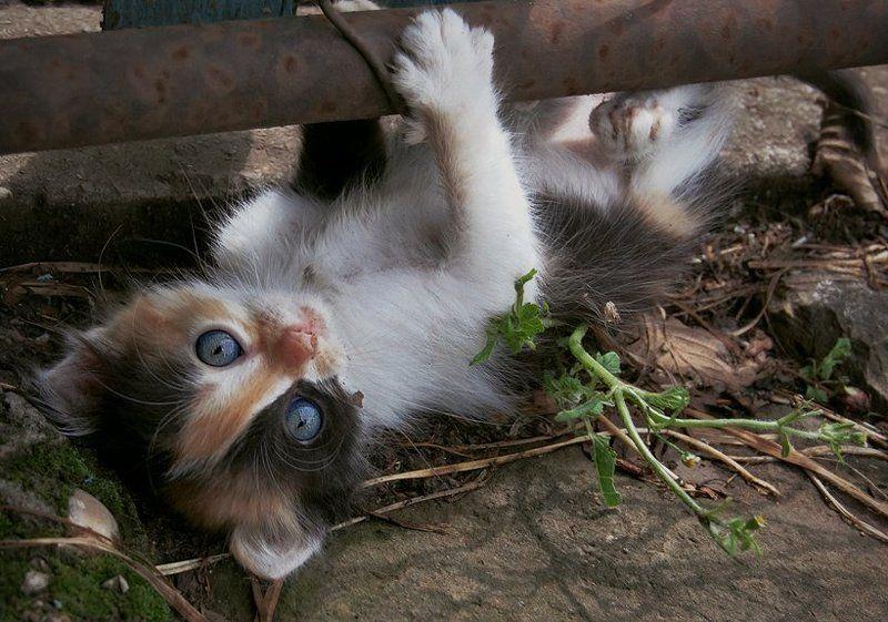 животные, котенок, кошки Голубоглазая шкодаphoto preview