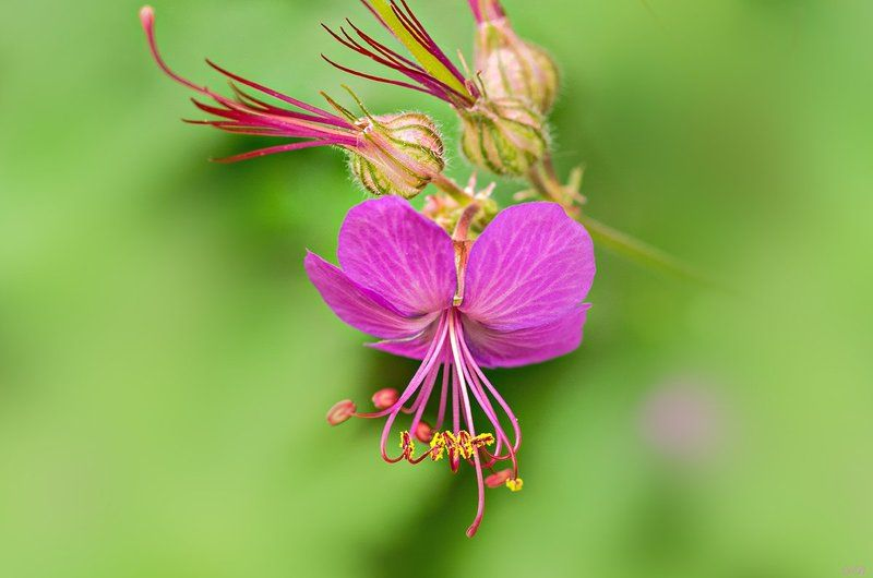 close-up, color, colors, color image, flower, flowers, geranium, green, image, macro, nature, plant, plants, photography, pink, spring, springtime, Geranium macrorrhizumphoto preview