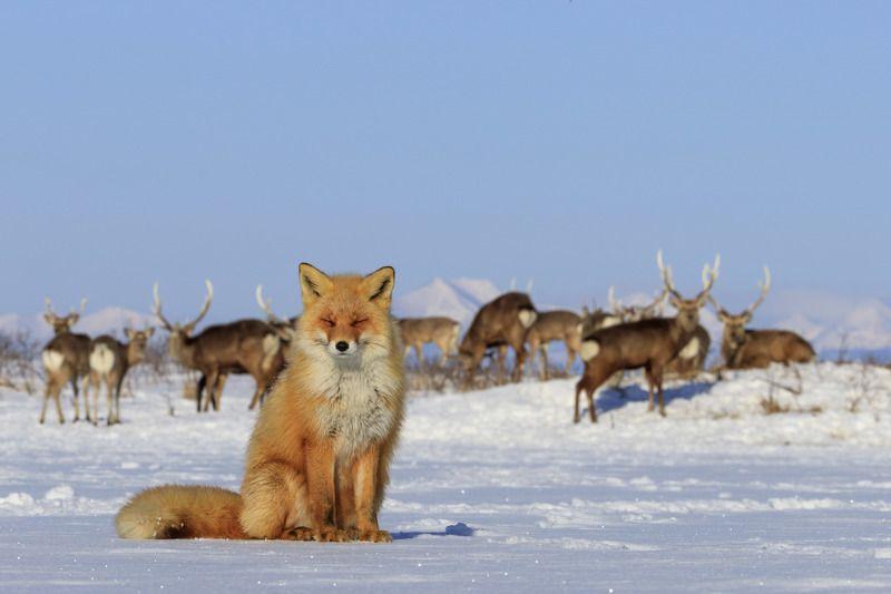 лиса, о.хоккайдо, япония ,зима, плавучий лёд, Лисаphoto preview