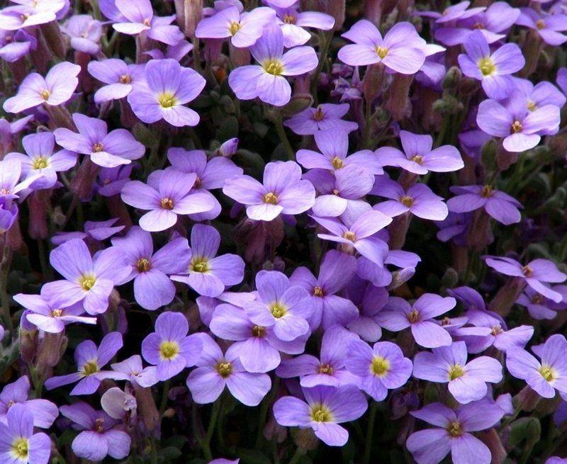 Обриета лиловаяphoto preview