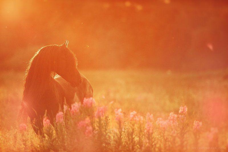 лошадь, лето, закат, фриз, цветы Цвет летаphoto preview