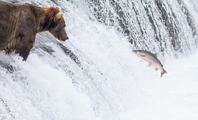 alaska, katmai, bear, brooks camp, wildlife,grizzly,salmon photo preview