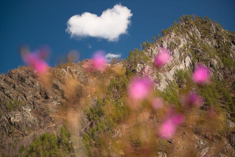 маральник, рододендрон, весна, май, алтай, горный алтай, сердце, счастье Из Алтая с любовью...photo preview