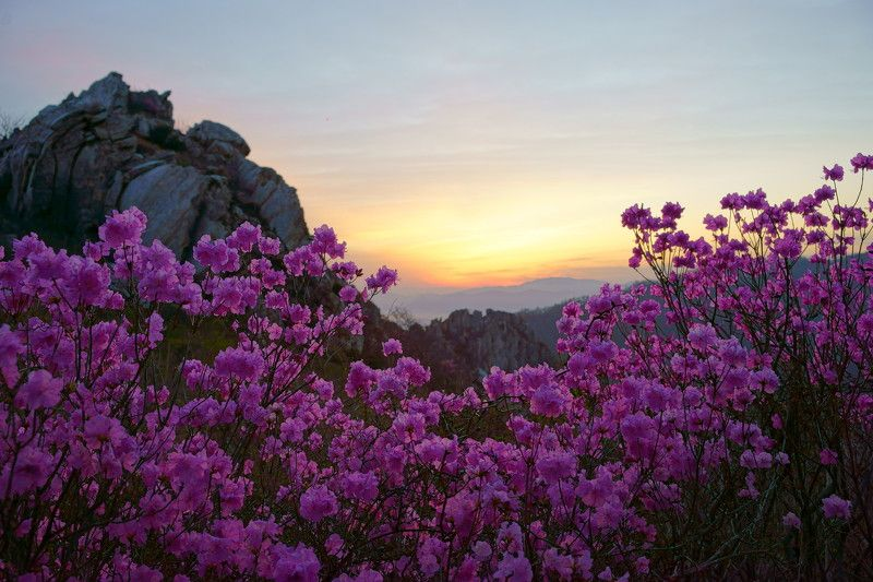 spring,korea,mountain,dawn,azalea,flower,clouds,light,cloud,rocky mountain, Azalea of the Dawnphoto preview
