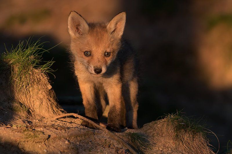 animals,fox. FOXphoto preview