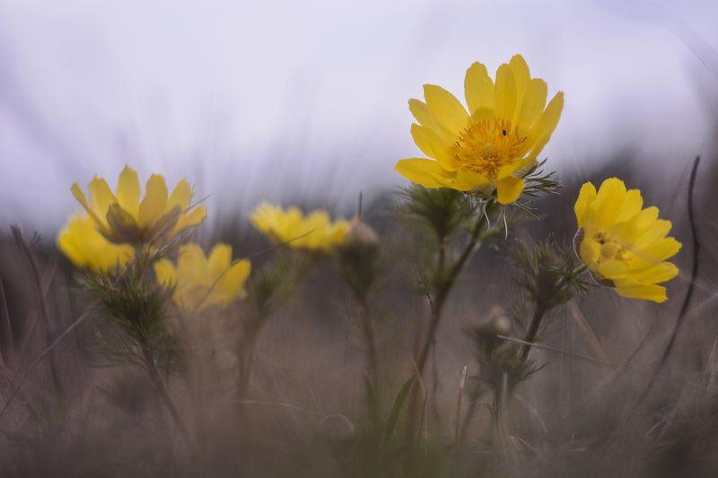 Адонис, природа, май, весна, цветок, первоцвет, растения, природа, день, макро, Россия, Татарстан, пробуждение, адонис весенний Первоцветыphoto preview