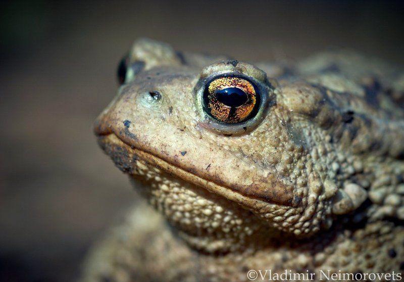 bufo verrucosissimus circassicus, krasnodar territory, north-western caucasus, caucasian toad, toad, северо-западный кавказ, краснодарский край, жаба, жаба кавказская Жаба кавказская - Bufo verrucosissimus circassicus / The caucasian toad - Bufo verrucosissimus circassicusphoto preview