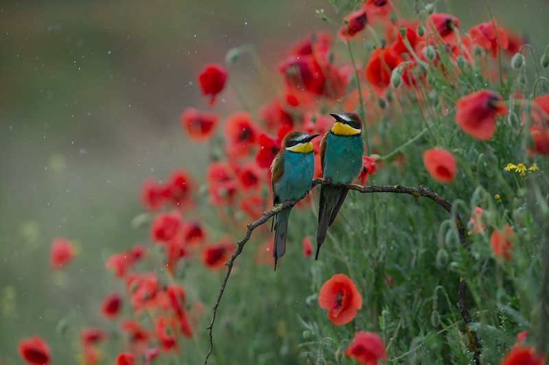 bee-eaters щурки Золотистая щурка  Дожд, маки и щуркиphoto preview
