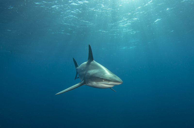 акула, под водой, море, океан, животные, рыбы, природа Акула в лучахphoto preview