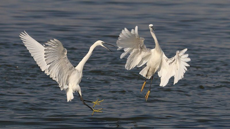 animals, birds, heron, wildlife, животные, птицы, цапли, драка, природа А вот я тебя как..photo preview