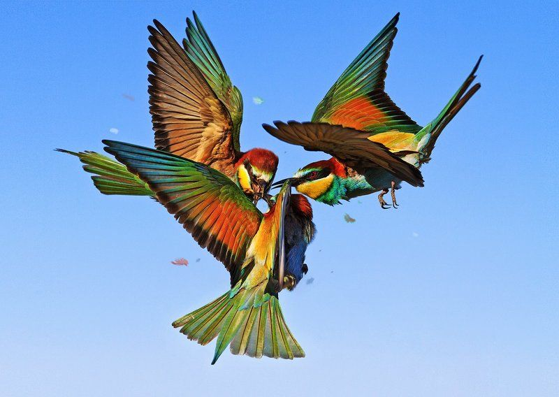 щурка золотистая,bee-eater,птицы, екзотика, драка, полет, radioactive birdsphoto preview