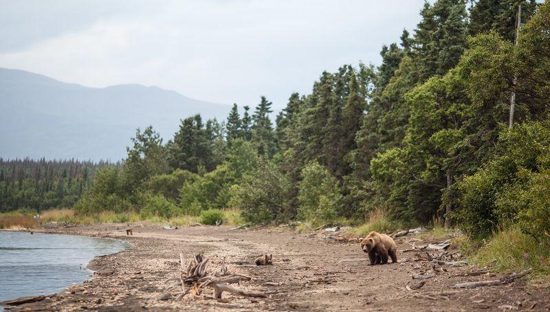 alaska,bear,grizzly,usa Alaskaphoto preview