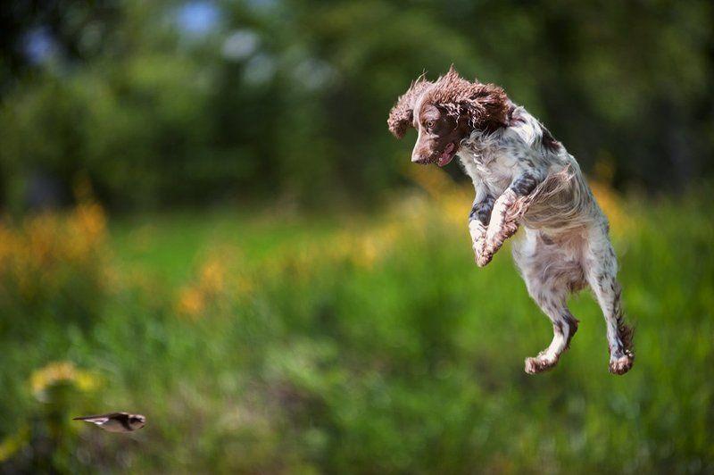 Русский охотничий спаниель, охота, лето, птица, стриж, в прыжке, летающая собака, радость, азарт Русский спаниель на охотеphoto preview