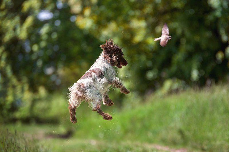 Русский охотничий спаниель, охота, лето, птица, стриж, в прыжке, летающая собака, радость, азарт За дичьюphoto preview