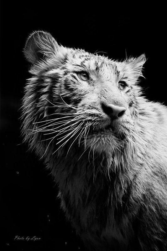 белый тигрпортретphoto preview