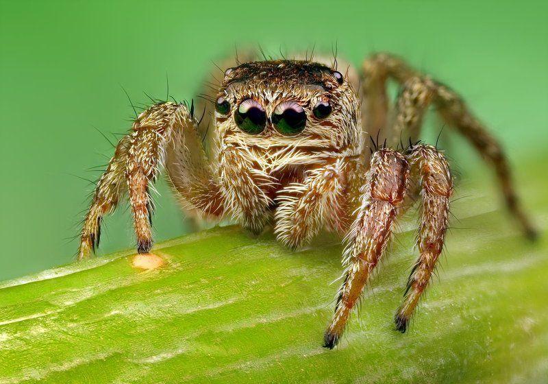 макро, паук-скакунчик Портрет паука-скакунчикаphoto preview