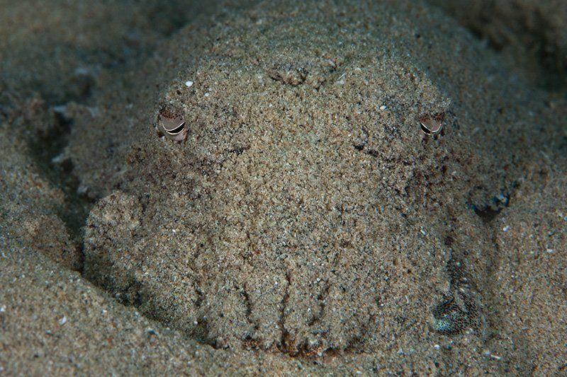 красное море, подводная съемка, риф, каракатица как выглядит каракатицаphoto preview