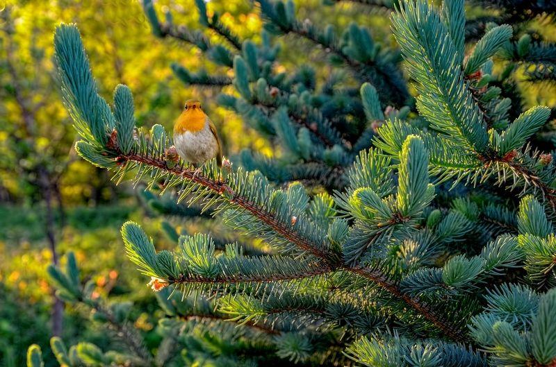 ель,птичка,лето.солнечные блики. Летним днём.photo preview