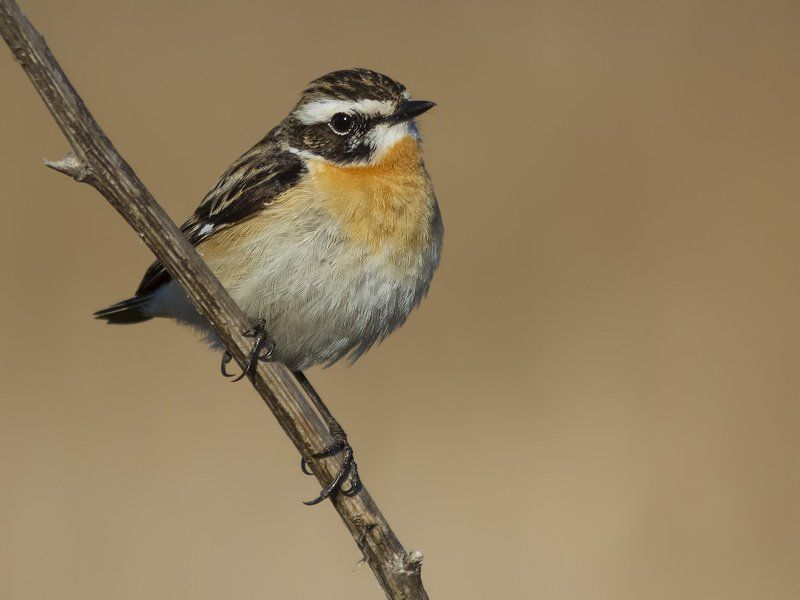 чекан, Whinchat.photo preview