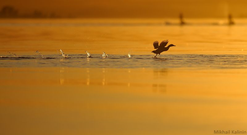 Пробежка кряквы.photo preview