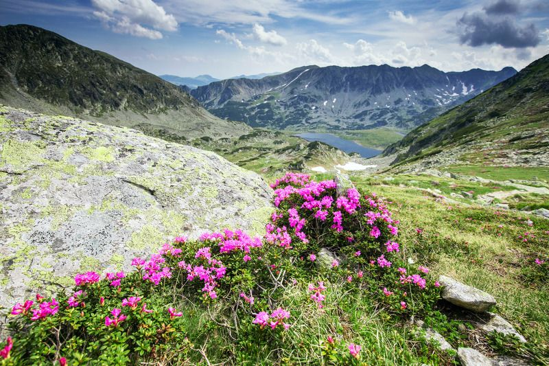 mountains,retezat,Romania,colors,flowers, From Retezat with lovephoto preview