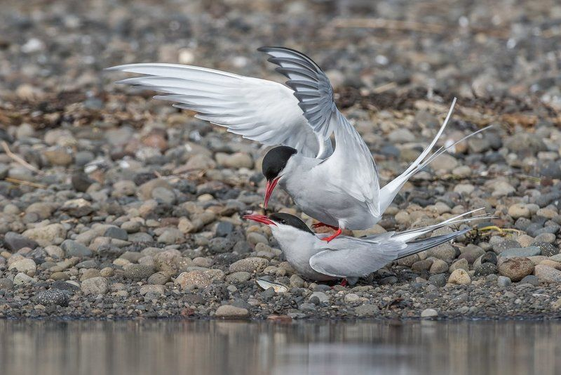 Birder\'s Corner, Arctic Tern, Sterna paradisaea, bird, wildlife, Arctic Terns (Sterna paradisaea)photo preview