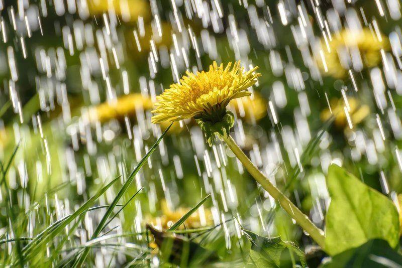 дождь, одуванчики, солнечно, rain, dandelions, sunny Дождикphoto preview