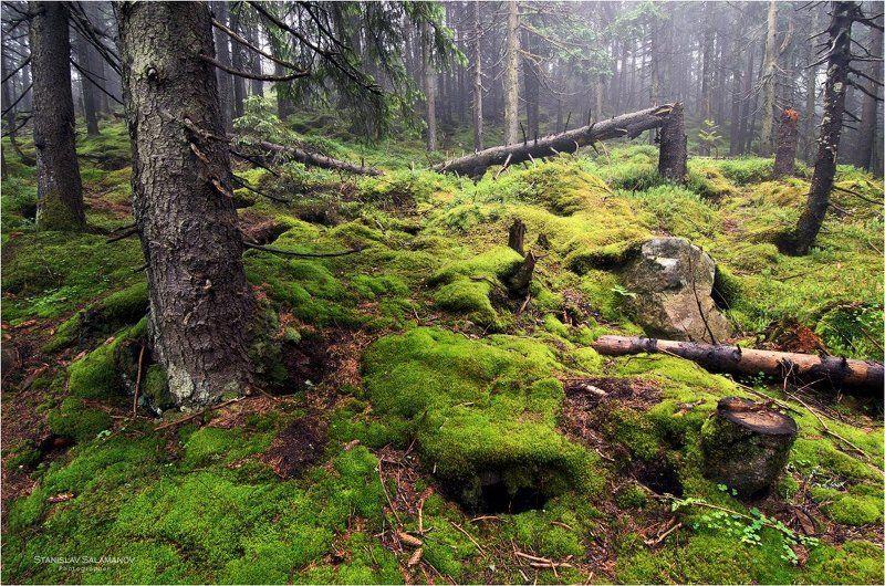лес, горы, мох, дымка, туман, г. хомяк, карпаты Таинственный лесphoto preview