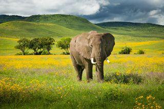 Слон в полевых цветах